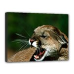 Laught Out Loud  Snarl Cougar Canvas 16  x 12  (Stretched)