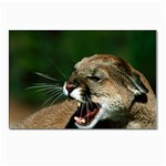 Laught Out Loud  Snarl Cougar Postcard 5  x 7