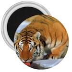 tiger_4 3  Magnet