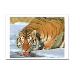 tiger_4 Sticker (A4)