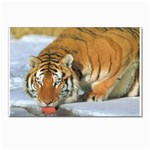 tiger_4 Postcards 5  x 7  (Pkg of 10)
